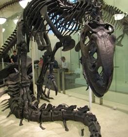 Allosaurus display, American Museum of Natural History, New York, NY.