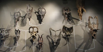 Ceratopsian skulls, NHMU, Salt Lake City, UT