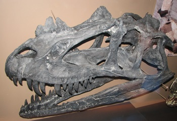 Ceratosaurus skull. Natural History Museum of Utah, Salt Lake City, UT.
