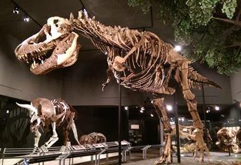 """Montana Rex"" display. Museum of the Rockies, Bozeman, MT."