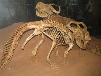 Protoceratops fossils and eggs. American Museum of Natural History, New York, NY.
