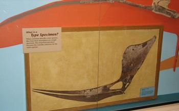 Geosternbergia type specimen. Sternberg Museum of Natural History, Hays, KS.