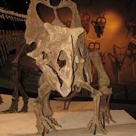 Utahceratops display. Natural History Museum of Utah, Salt Lake City, UT.