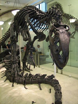 Allosaurus display, 4th floor. American Museum of Natural History, New York, NY