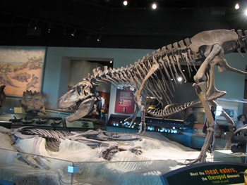 Daspletosaurus display, The Field Museum, Chicago, IL.