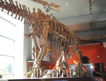 Mamenchisaurus display. Natural History Museum of Los Angeles County, Los Angeles, CA.