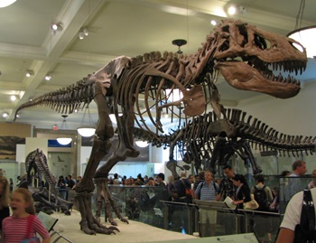 Tyrannosaurus rex on display at the American Museum of Natural History, New York, NY.