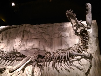 "T. rex ""Black Beauty"" on display at the Royal Tyrrell Museum in Drumheller, Alberta."