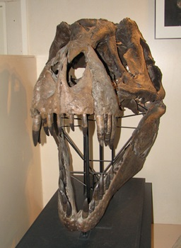 "Fossil skull of ""Stan"" the T. rex, Museum at the Black Hills Institute, Hill City, SD."