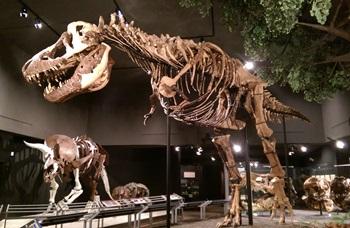 """Montana Rex"" on display. Museum of the Rockies, Bozeman, MT."