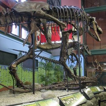 T. rex and Daspletosaurus display, Museum of World Treasures, Wichita, KS.