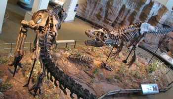 Tyrannosaurus rex dual. Carnegie Museum of Natural History, Pittsburgh, PA.