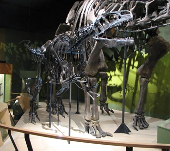 Allosaurus on the attack. Cleveland Museum of Natural History, Cleveland, OH.