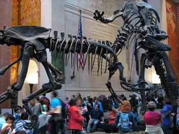 Allosaurus vs. Barosaurus. American Museum of Natural History, New York, NY.