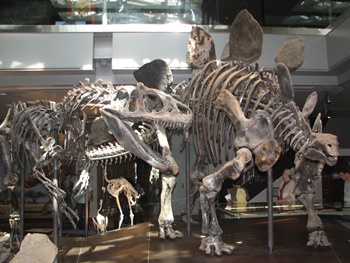Allosaurus vs. Stegosaurus. Natural History Museum of Los Angeles County, Los Angeles, CA.