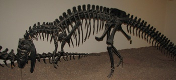 Juvenile Allosaurus. University of Nebraska State Museum, Lincoln, NE.