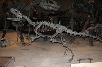 Juvenile Allosaurus. Natural History Museum of Utah, Salt Lake City, UT.