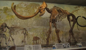"""Archie"", the Columbian Mammoth. University of Nebraska State Museum, Lincoln, NE."