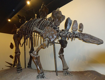 Stegosaurus fossil display. University of Nebraska State Museum, Lincoln, NE.