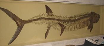 Xiphactinus display. University of Nebraska State Museum, Lincoln, NE.