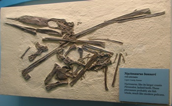 Nyctosaurus type specimen. Sternberg Museum of Natural History, Hays, KS.