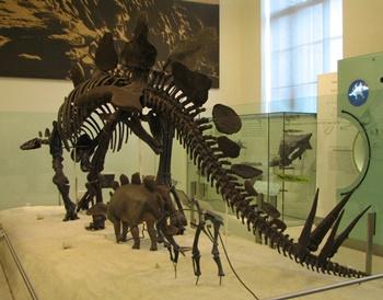 Stegosaurus display. American Museum of Natural History, New York, NY.