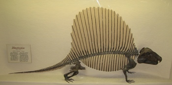 Dimetrodon display, Brigham Young University Museum of Paleontology, Provo, UT.
