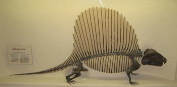 Dimetrodon display, Brigham Young University Museum of Paleontology, Provo, UT.