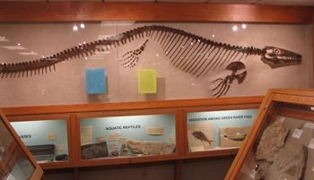 Platecarpus display. Fryxell Geology Museum, Augustana College, Rock Island, IL.