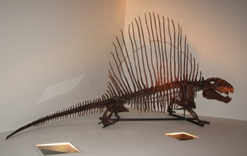 """Willie"" the Dimetrodon. Houston Museum of Natural Science, Houston, TX."