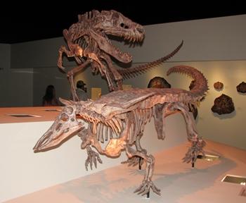 Archosaurs! Triassic predator Postosuchus attacks Desmatosuchus. Houston Museum of Natural Science, Houston, TX.