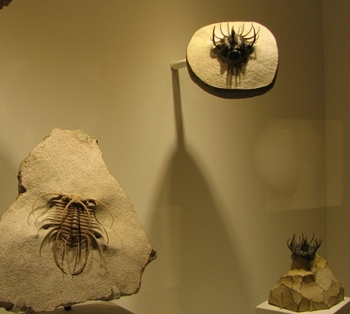 Some of the wonderful trilobites at the Houston Museum of Natural Science, Houston, TX.