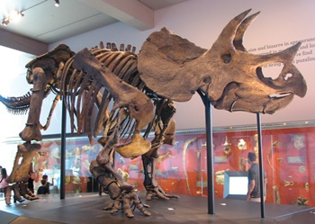 Very nice Triceratops display. Natural History Museum of Los Angeles County, Los Angeles, CA.