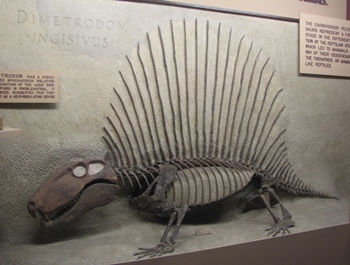 Fantastic Dimetrodon display. University of Michigan Museum of Natural History, Ann Arbor, MI.