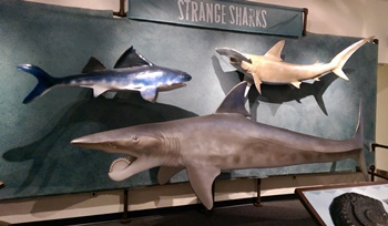 "Ancient sharks display in the ""Bizarre Beasts"" exhibit. University of Nebraska State Museum, Lincoln, NE."