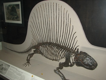 Dimetrodon display. American Museum of Natural History, New York, NY.