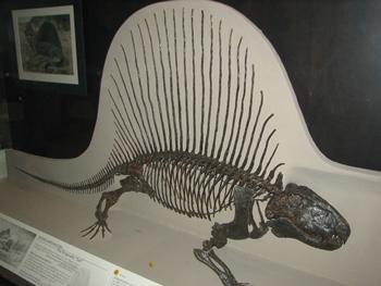 Dimetrodon display. American Museum of Natural History, New York, NY.