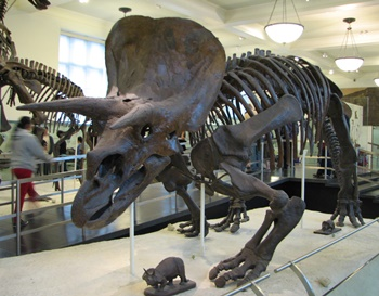 Triceratops display. American Museum of Natural History, New York, NY.