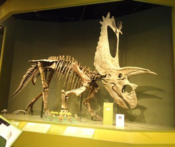 Massive skull on Titanoceratops. Sam Noble Museum, Norman, OK.