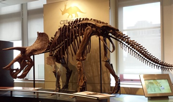 Gorgeous Triceratops mount. Canadian Museum of Nature, Ottawa, ON. Photo credit: Fingers Crossed-Contests for Candians.