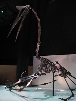 Quetzalcoatlus defending her nest against a Tyrannosaurus. Houston Museum of Natural Science, Houston, TX.