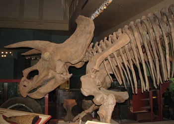 """Triceratops """"Hatcher."""" Smithsonian National Museum of Natural History, Washington, DC."""