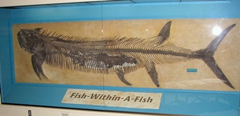 "Famous ""Fish-within-a-fish"" Xiphactinus fossil. Sternberg Museum of Natural History, Hays, KS."