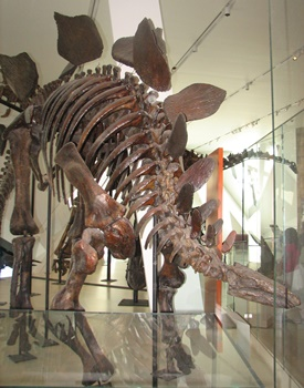 Stegosaurus display. Royal Ontario Museum, Toronto, ON.