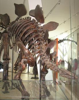 Stegosaurus display. Royal Ontario Museum, Toronto, ON.