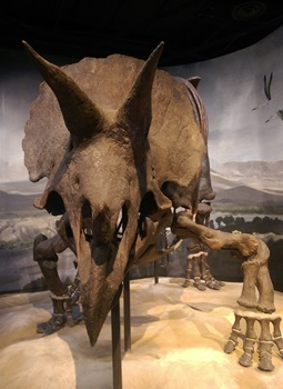 One of the largest and most complete Triceratops fossils in the world. Science Museum of Minnesota, St. Paul, MN.