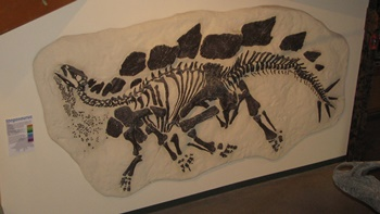 Stegosaurus fossil. University of Wyoming Geological Museum, Laramie, WY.