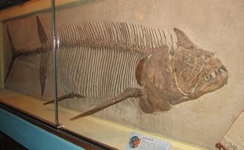 Large Xiphactinus on display. University of Kansas Museum of Natural History, Lawrence, KS.