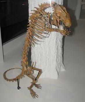 The tasmanian devil-like mammal Didelphodon. Houston Museum of Natural Science, Houston, TX.
