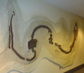 25-foot Cretaceous era shark Cretoxyrhina. McWane Science Center, Birmingham, AL.